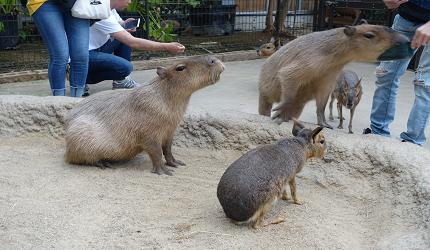 到神戶動物王國看看可愛的水豚君