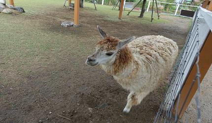 到神戶動物王國看看毛茸茸可愛的羊駝